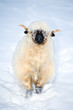 Welsh Blacknose- Sheep in snow