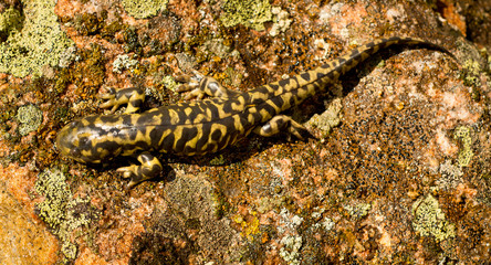 Tiger Salamander blends with natural surroundings