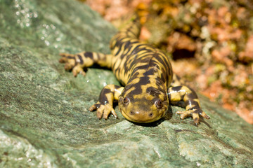 Tiger Salamander looking at you