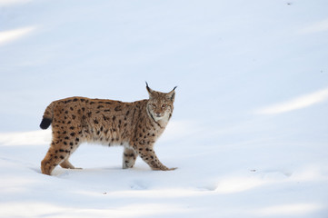 An isolated Lynx in the snow background while looking at you