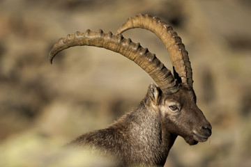 An isolated ibex lonh horn sheep clode up portrait