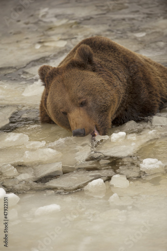 A black bear brown grizzly portrait in the snow while eating ice