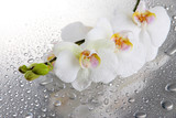 Fototapety white beautiful orchids with drops
