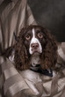 Springer Spaniel Studio Portrait