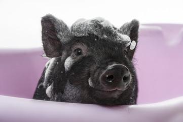 a cute little black piggy having bath - funny concept