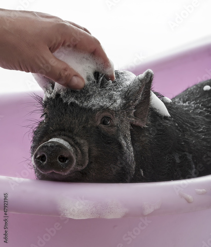 a cute little piggy having bath - hygiene concept