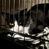 Homeless Cat - Rescued Feline in Cage recovering from Surgery poster