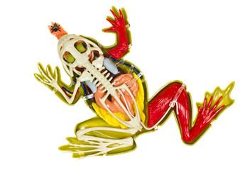 Frog entrails model.