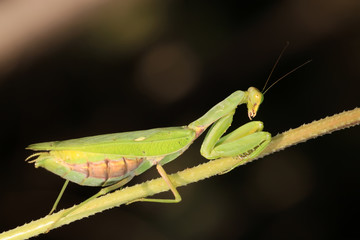 closeup of mantis