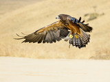 Swainson hawk flying