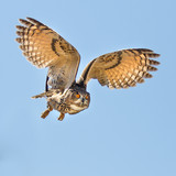 Eagle owl flying for a kill
