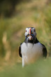 A colorful Puffin while holding fishes in the beak
