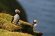 Two colorful Puffin Portrait isolated in natural enviroment
