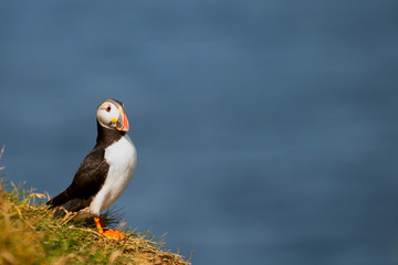 A colorful Puffin Portrait isolated in blue background