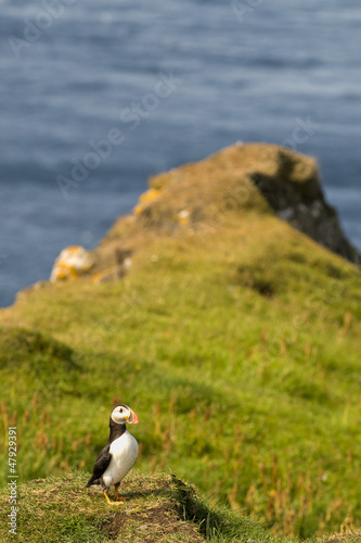 A colorful Puffin Portrait on grass and blue background