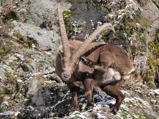 Capra ibex scratch