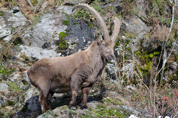 Alpine ibex (Capra ibex). Adult male