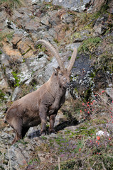 Capra ibex on rock