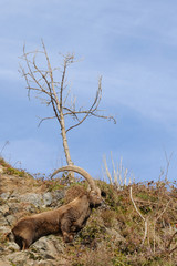 Alpine ibex and rocky habitat