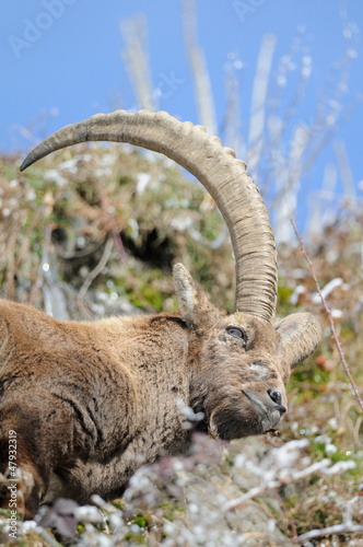 Capra ibex and blue sky