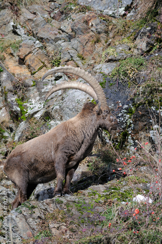 Alpine ibex on rock