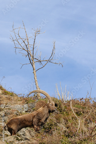 Alpine ibex and rocky habitat