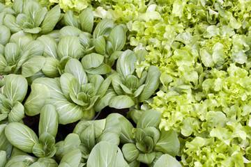 bok choi and salad in garden