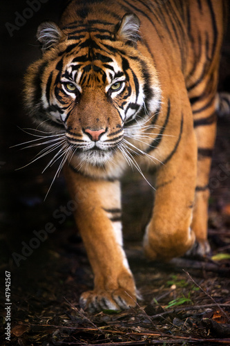 Tiger Walking out of Shadow - 47942567
