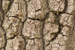 Bark of plane tree