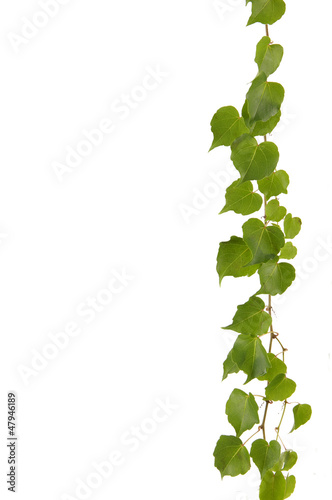 Isolated Green ivy border