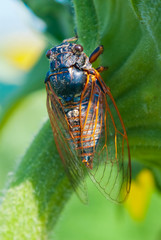 big cicada sitting on a flower