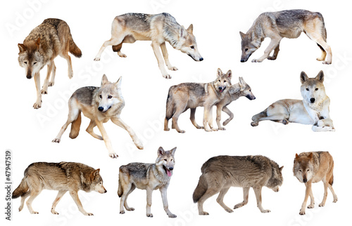 grey wolves. Isolated  over white