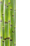 lucky bamboo grove with copy space