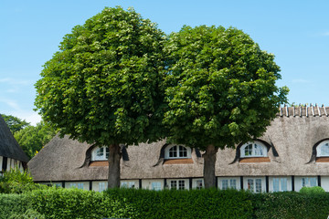 Oak trees in front of a house