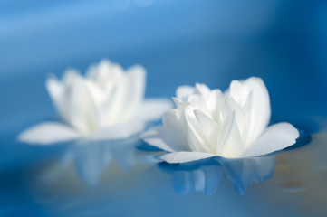 Beautiful White Jasmine Flowers Floating on Blue Water