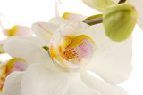Fototapety beautiful orchid, isolated on white