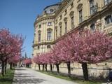 japanische blütenkirsche in Residenz Würzburg