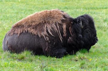 bisonte sotto la pioggia nello Yellowstone