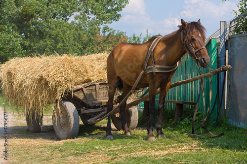A chestnut mule harnessed to a traditional hay cart. Ukraine.