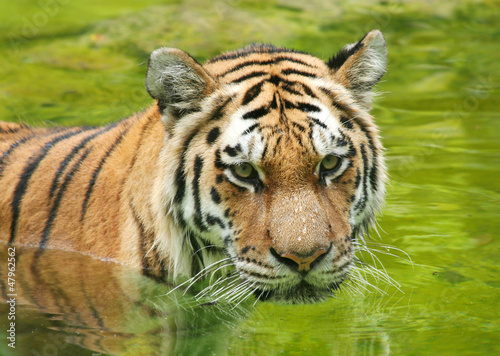 Amur Tiger in Water