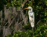 Great White Egret on The Banyan Tree