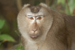 Head of Pig-Tailed Macaque (Monkey at kaoyai NP, Thailand)