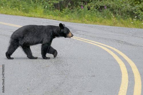 Papiers peints Ours Blanc A black bear crossing the road in Alaska