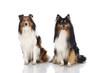 Shetland Sheepdogs - Shelties