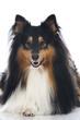 Shetland Sheepdog - Sheltie
