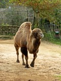Bactrian camel at Riga zoological garden poster