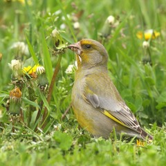 European Greenfinch ?hloris chloris