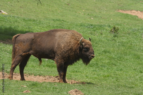 Bisonte europeo - Bison bonasus