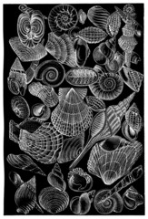 Shells - Coquillages - Muscheln