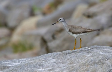 Grey-tailed Tattler Heteroscelus brevipes